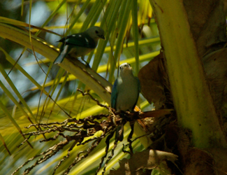 0328-Blue-gray-Tanager-Thraupis-episcopus6