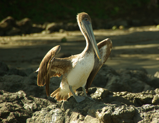 Brown-Pelican-Pelecanus-occidentalis8
